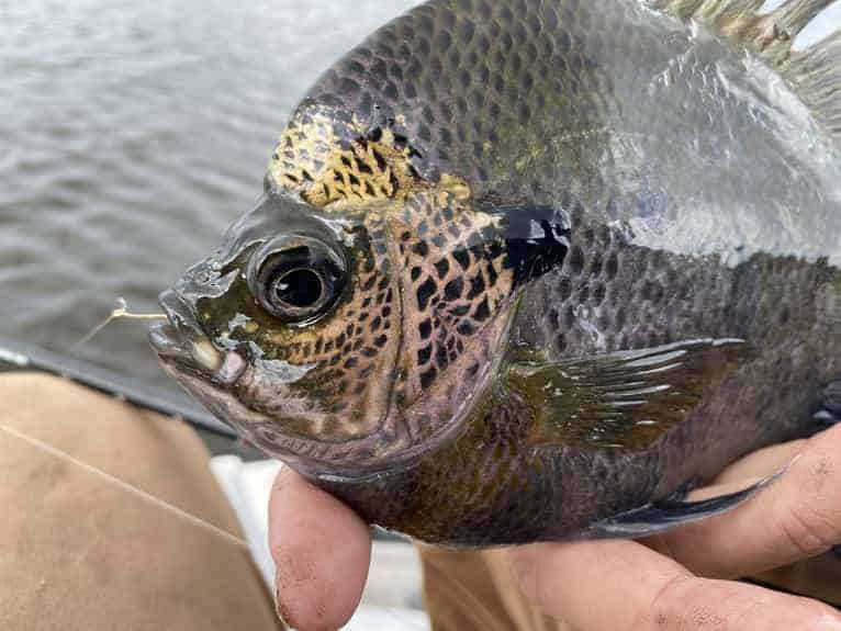How To Keep Bluegill From Swallowing The Hook