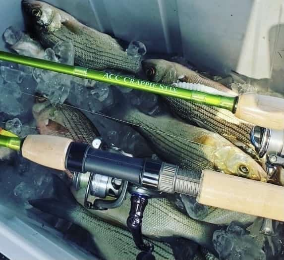 Are White Bass Good To Eat